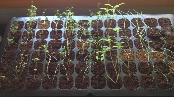 Young seedlings becoming leggy due to not enough light