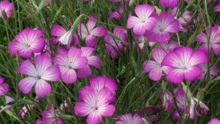 Agrostemma githago, 'Milas' Corn Cockle hardy annual plant -
