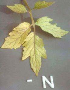 Plant leaf suffering from nitrogen deficiency