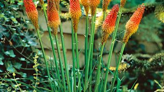 Potted Red Hot Poker - Plant Kniphofia uvaria