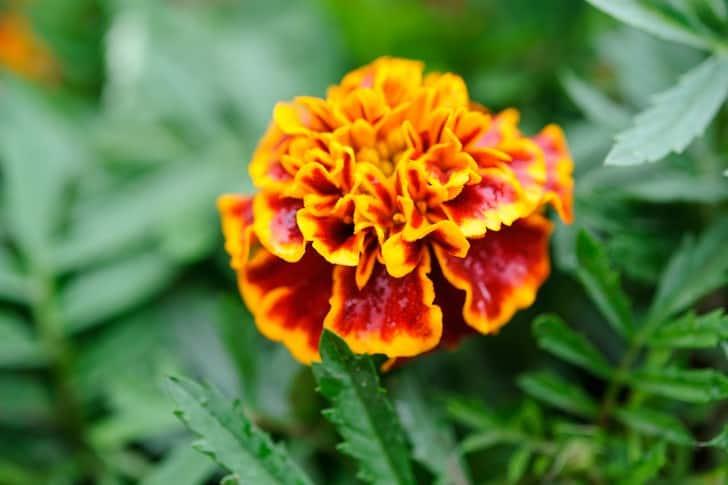 Tagetes patula 'Honeycomb' French marigold