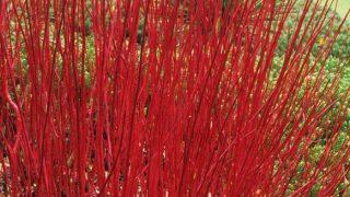 Cornus alba Sibirica - Siberian Dogwood