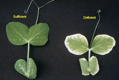 zinc deficiency on leaves