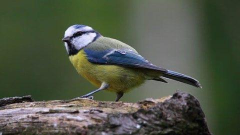 Blue Tit Bird perching on a log