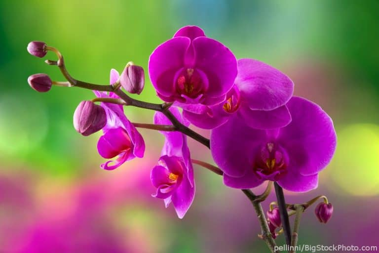 """Phalaenopsis orchid """"Moth orchid"""""""