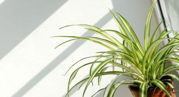 Spider plant, Chlorophytum comosum