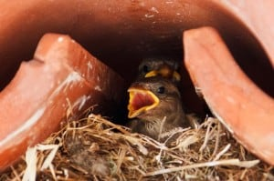 baby sparrows in the nest