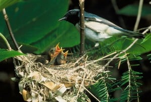 blue-throated-blue-warbler chicks hungry in the nest.
