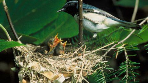 bird nest and chicks