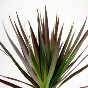 dracaena-dragon-tree-marginata bicolour