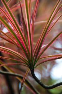 Tricolor dracaena marginata