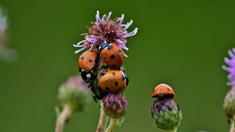 ladybirds or ladybugs on a flower