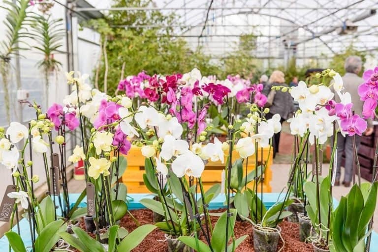 moth orchids greenhouse