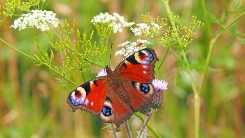 peacock-butterfly on a flower