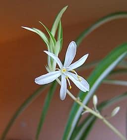 spider pllant flower