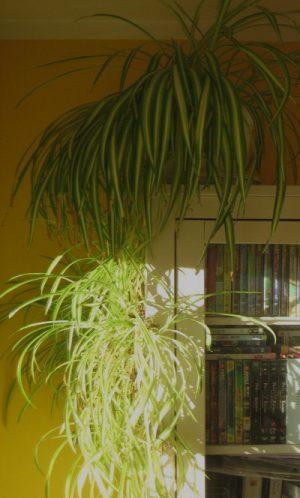 spider_plant_on a shelf