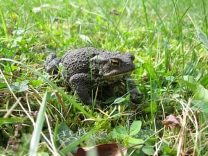 toad-in-grass