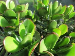 Close up of jade plant leaves