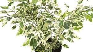 Ficus benjamina weeping fig