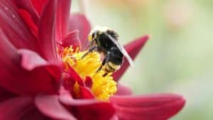 Bumble Bee Pollinating Flower