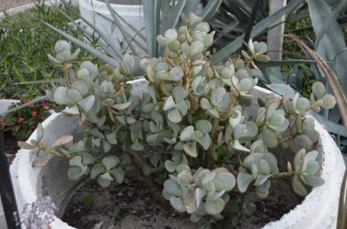 Crassula arborescens in a cement pot