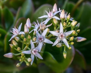 Crassula Ovata, Jade Plant, Money Plant Flowering