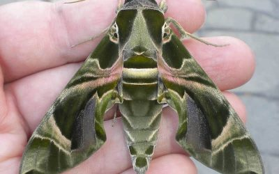 Oleander Hawk Moth on a hand
