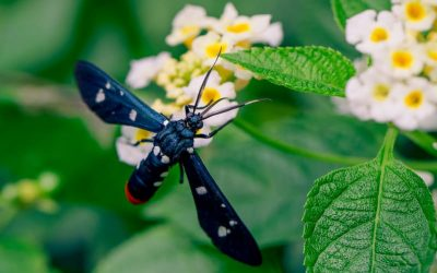 Polka-dot wasp moth