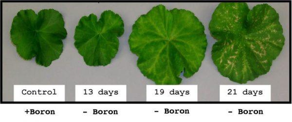 boron deficiency in plants
