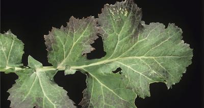 effects of phosphorus deficiency on plants