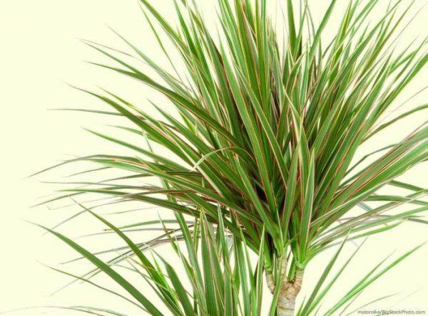dracaena-dragon-tree-marginata