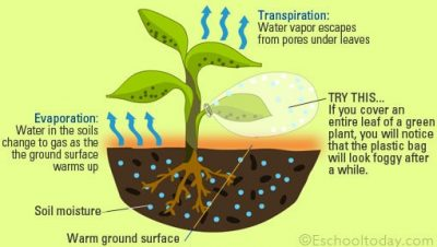 Water evaporation in plants