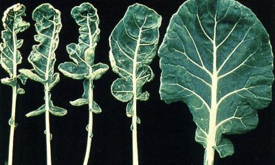mo-def-cauliflower-whiptail